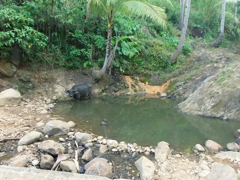 Kalabaw (Water Buffalo) enjoying a dip.