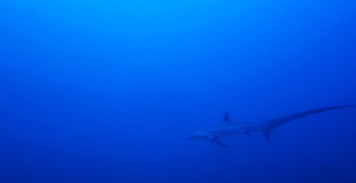 Diving in Cebu: Shark Diving in Malapascua Island